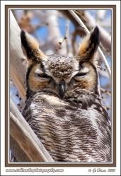 Owl_Portrait