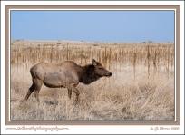 Prairie_Elk