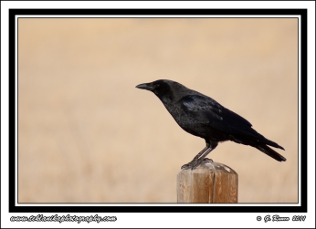 Raven_On_A_Post