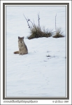 Sit_Coyote