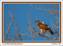 Spring_Hawk