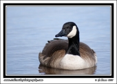 Swimming_Goose