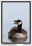 Talking_Goose