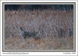 Twilight_Coyote