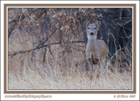Winter_Doe_In_Grass