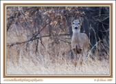 Winter_Whitetail_Fawn