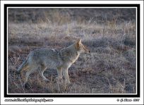 Yearling_Coyote