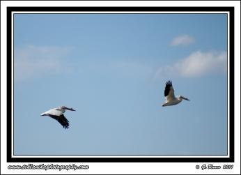 2_Pelicans