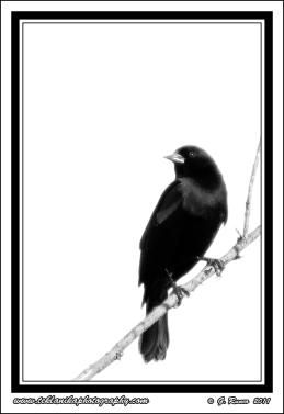 Backlit_Black_Bird