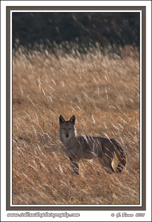 Dusk_Coyote