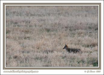Dusky_Coyote