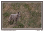 Foothills_Coyote