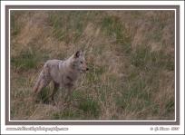 Foothills_Coyote