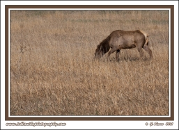 Grazing_Cow_Elk