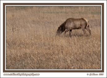 Grazing_Cow_Elk