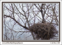 Hawk_On_Nest