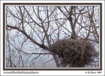 Hawk_On_Nest