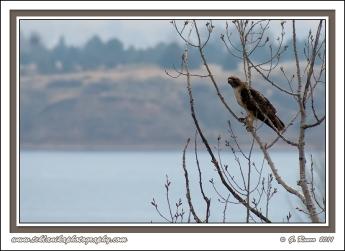 Hawk_Over_Water