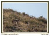 Hillside_Coyote