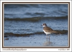 Killdeer_At_The_Lake