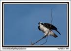 Launching_Osprey