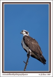 Osprey_On_Perch