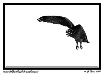 Osprey_Takeoff(B&W)