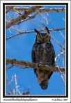 Owl_In_Wind