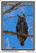 Owl_In_Wind