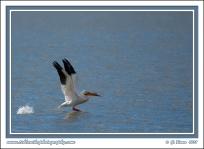 Pelican_Taking_Off