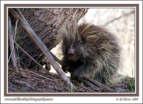 Porcupine_In_Harsh_Light