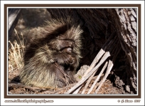 Porcupine_In_Shadows