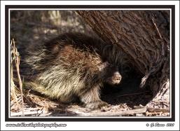 Porcupine_Under_Tree