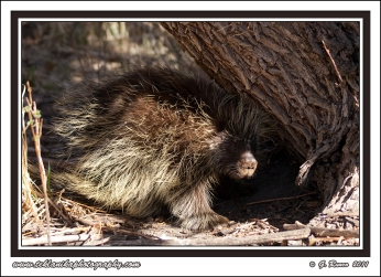 Porcupine_Under_Tree