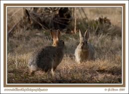 Rabbit_Showdown