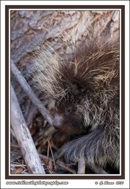 Sleepy_Porcupine