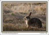 Sunset_Cottontail