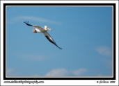 White_Pelican_In_Flight