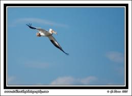 White_Pelican_In_Flight
