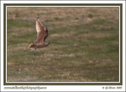 Curlew_In_Flight