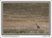 Long-Billed_Curlew