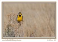 Meadowlark_Morning
