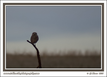Perched_Burrowing_Owl