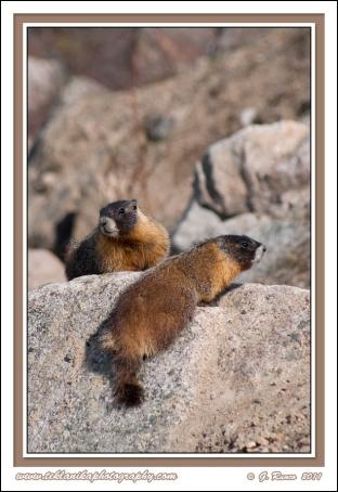 2_Marmots