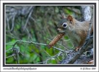 Alaska_Squirrel