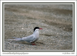Arctic_Tern