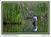 Arctic_Tern_In_Marsh