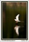 Arctic_Tern_Over_Water