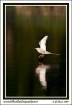 Arctic_Tern_Over_Water