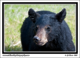 Bear_Face